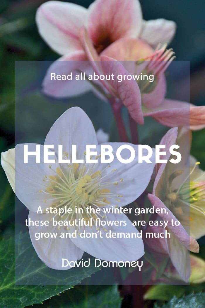 Growing hellebores in your garden