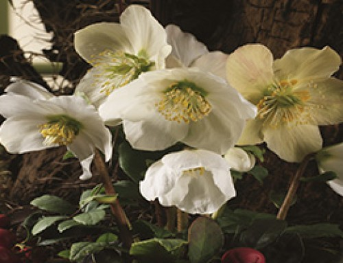 Helleborus – Winter Plant of the Month for January