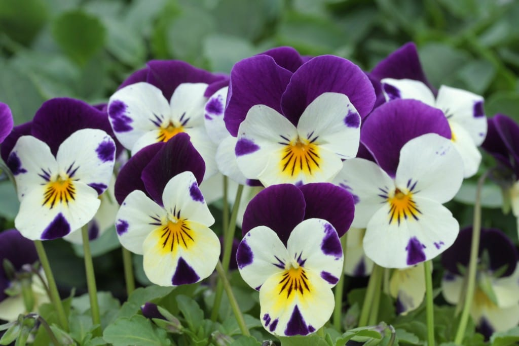 Flowers that bloom in winter months - Pansy Winter Flowering Plant
