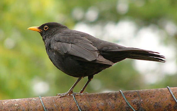 What Do Baby Blackbirds Eat And Drink