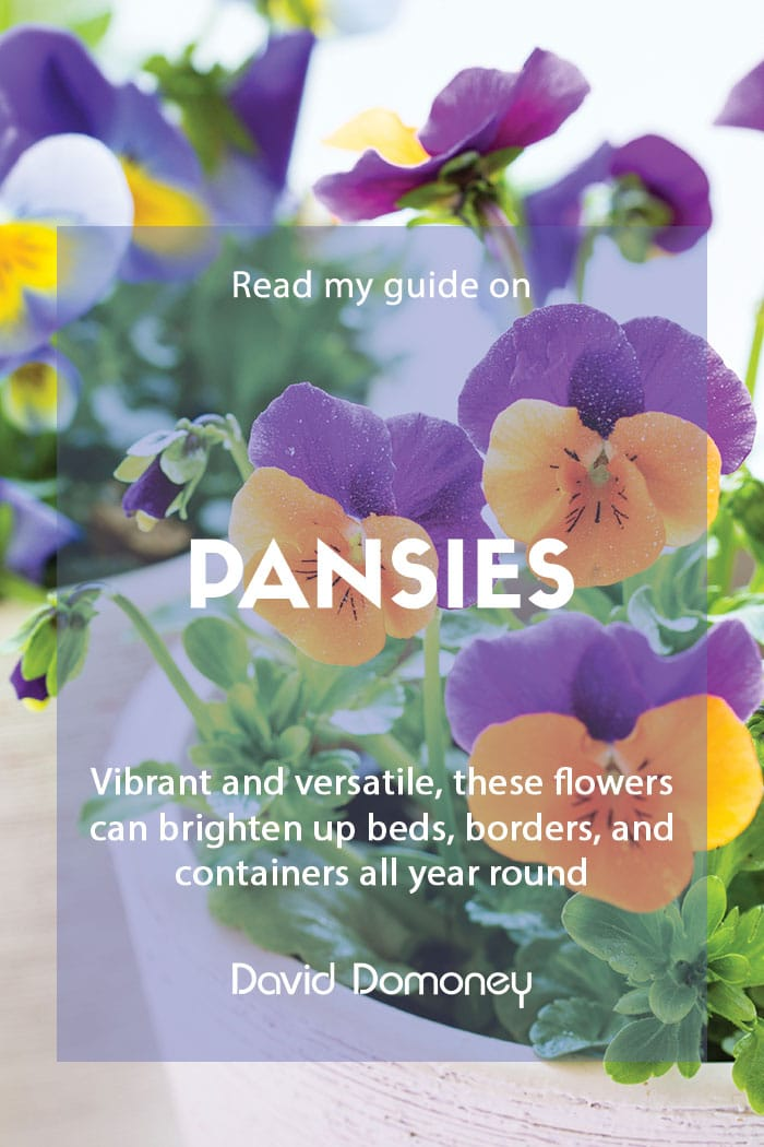 My guide to pansies