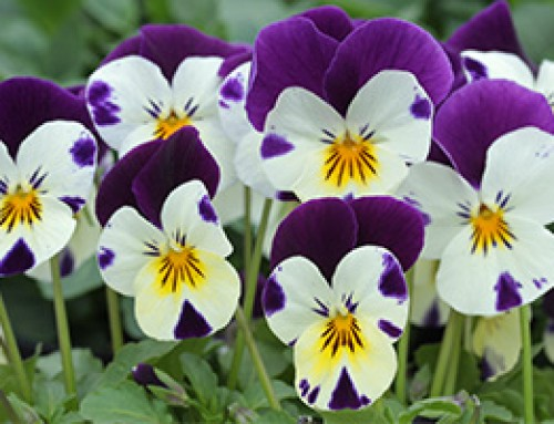 HTA Plant of the Month, March – Pansy