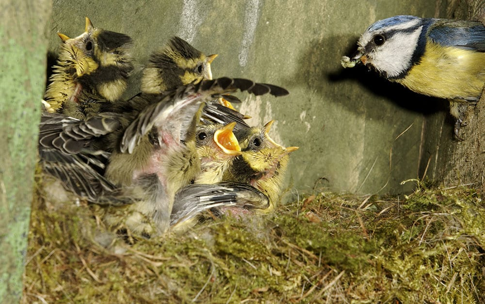 bird-feeding-chicks