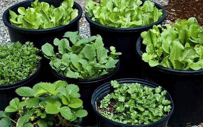edible-crops-veg-salad-strawberries-in-pots