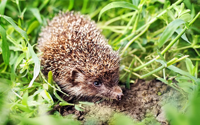 How To Attract Hedgehogs Into Your Garden David Domoney