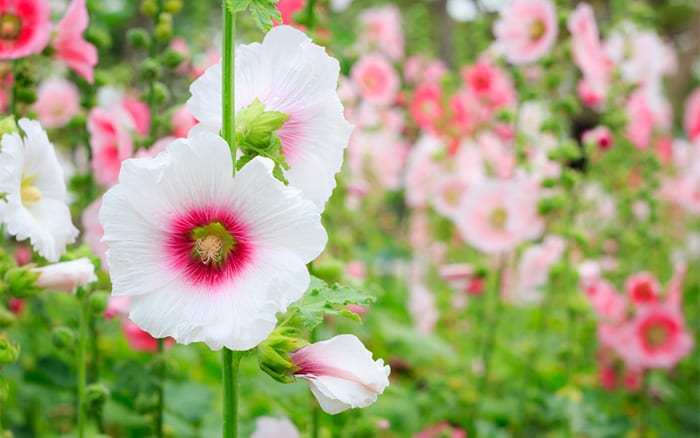 hollyhocks are biennial plants what does biennial mean