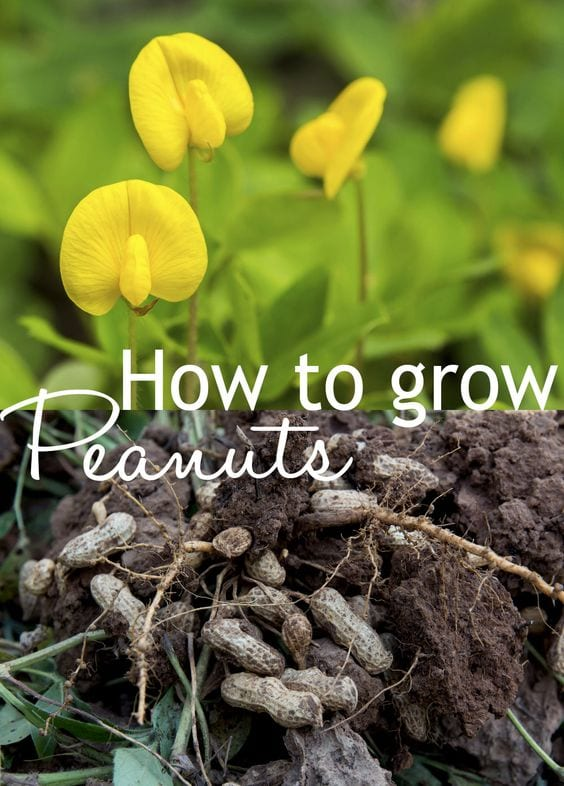 How to grow your own peanuts - step by step growing tips for a peanut plant in your garden!