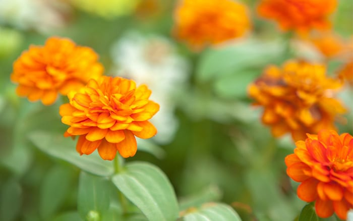marigolds-orange-flowers-annual bedding-plant