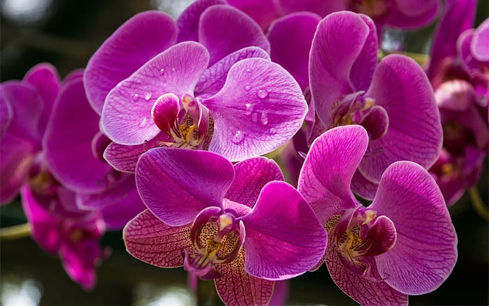 orchid-flowers-pink-with-water-droplets-care-for-orchids