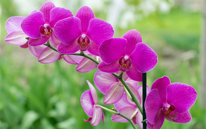 orchid-pink-flowers
