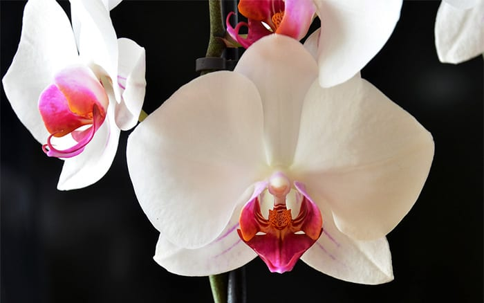 orchid-white-with-pink-details