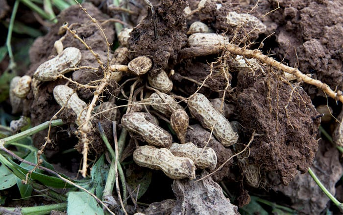 peanut-plant-roots-with-peanut-shells