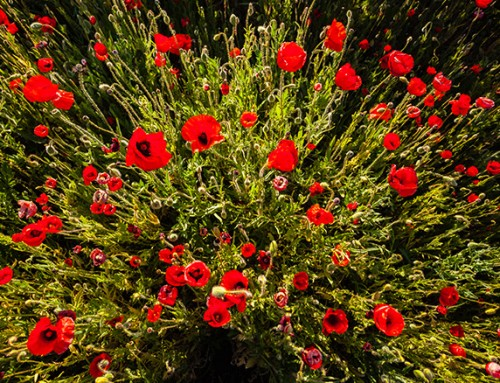 How to: grow your own poppies