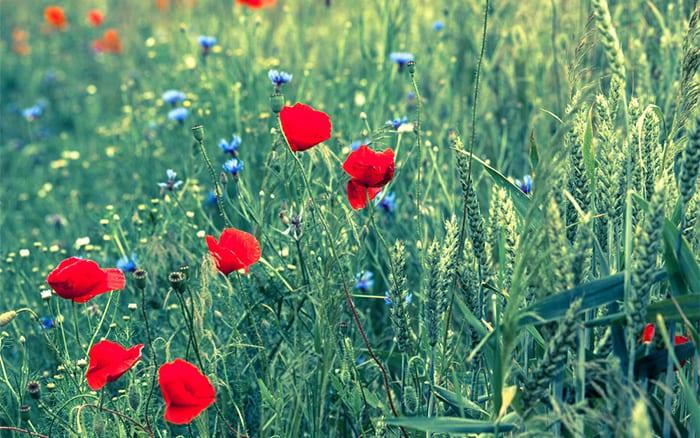 poppy-wild-grass-meadow