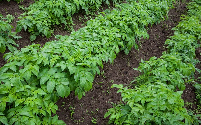 How To Grow Your Own Potatoes In The Veg Plot