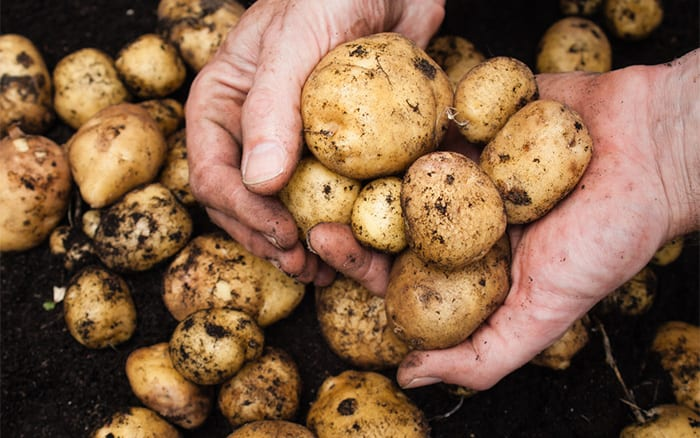 potatoes-grow-your-own-harvesting-crop
