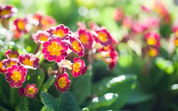 primula-plants-in-the-garden-sunshine