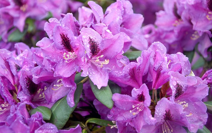 What are shrubs and how are they different from trees for Large flowering shrubs