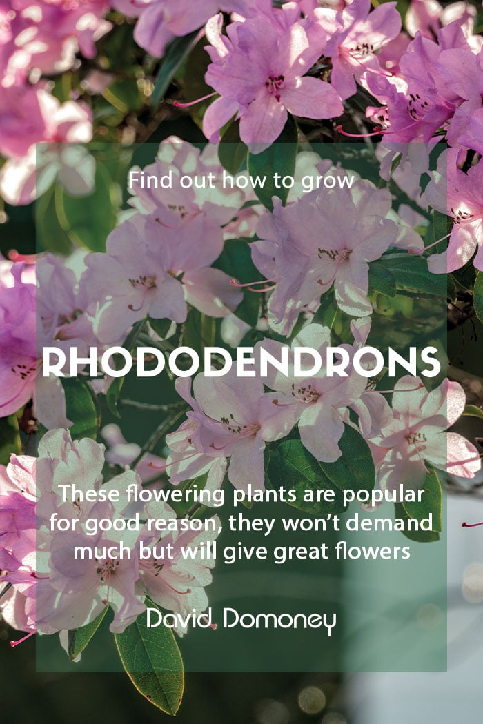 Growing rhododendrons in the garden