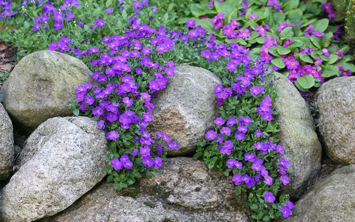 aubretia-growing-on-a-rockery