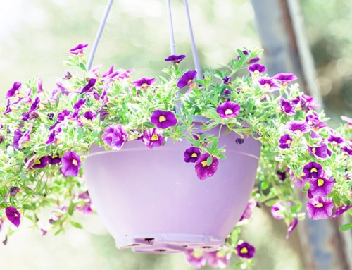 How to: plant a perfect hanging basket every time