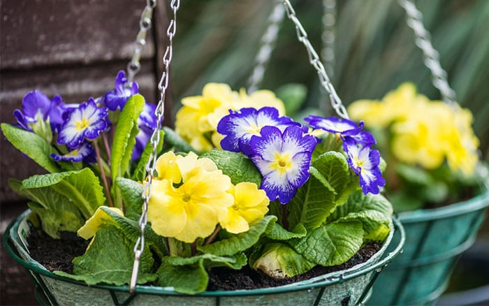 hanging-baskets-with-primula-polyanthus