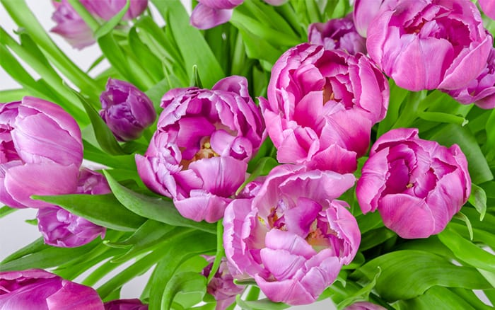 pink-tulip-display water tulips well in spring for lots of flowers