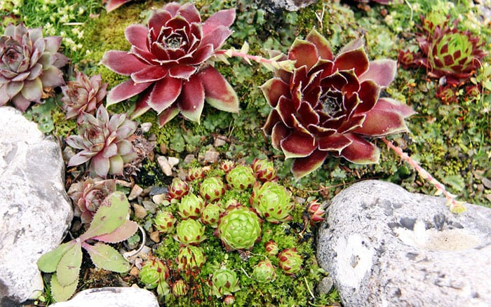 rockery-rock-garden-with-succulents-alpine-trough