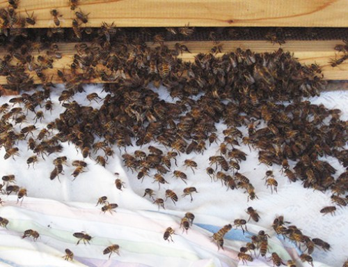 Beekeeping: A new swarm has arrived in my garden beehive