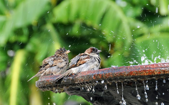 birds-splashing-bird-bath-garden-wildlife