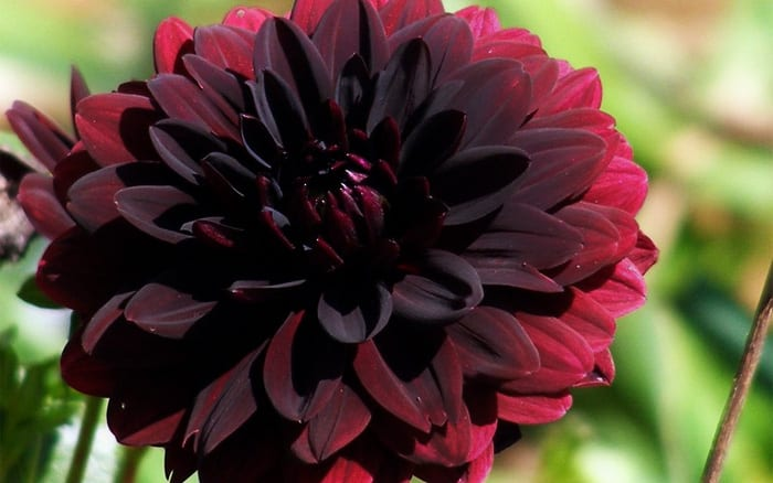 10 Best Black Plants And Flowers From Chelsea Flower Show