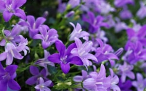 campanula-star-shaped-bell-flowers-plants-for-shade