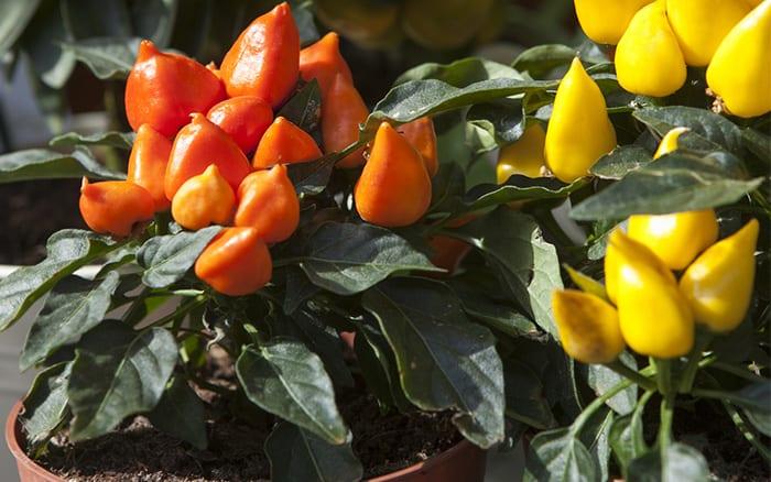 chilli-plants-in-pots