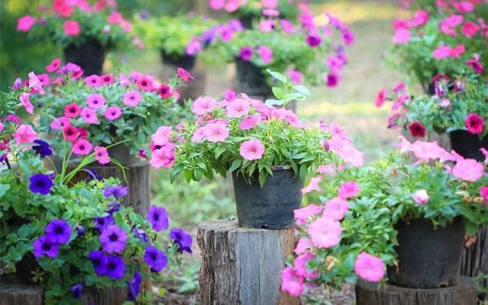 pots-of-petunias-summer-bedding-plants