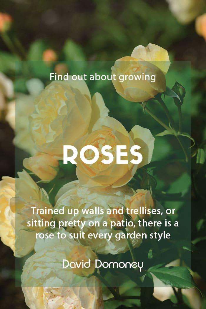 Growing roses in the garden