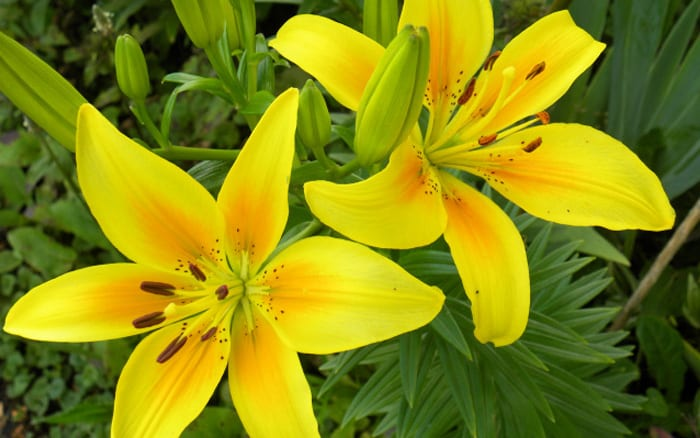 plant spotlight how to grow lilies and the best varieties to buy, Beautiful flower