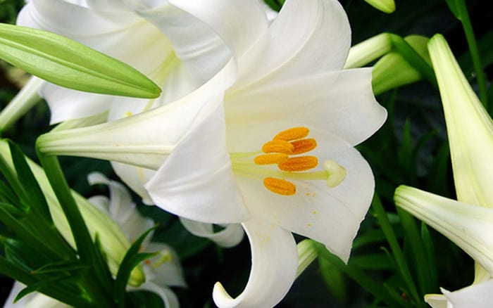 Plant Spotlight How To Grow Lilies And The Best Varieties