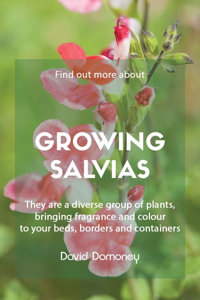 Growing salvias in your garden