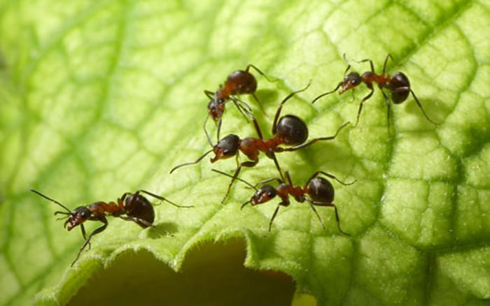 How to stop ants in the garden with nematodes