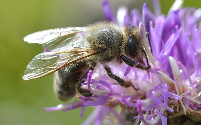 bee-on-flower-pollinators-in-garden-bumblebee-solitary-bee-pollen