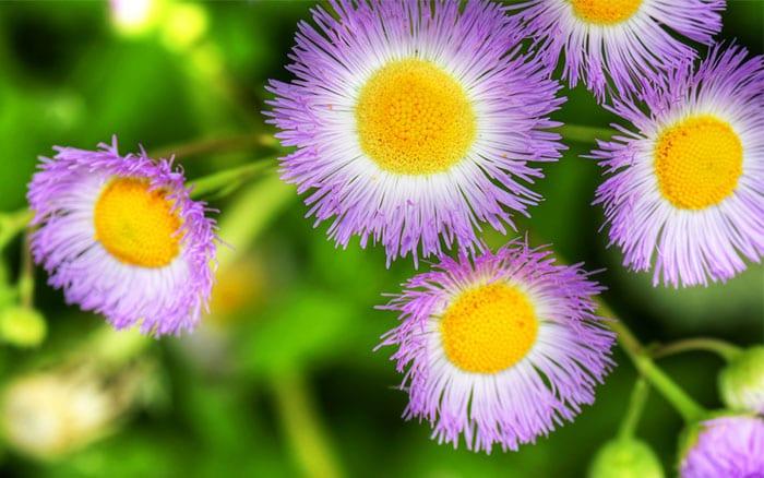 erigeron-fleabane-flowers