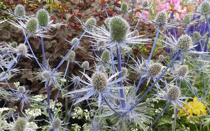 eryngium plants from RHS Hampton Court Palace