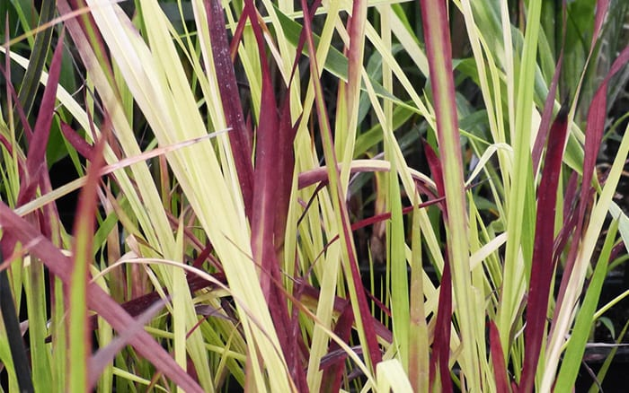 imperata-cylindrica-red-baron plants from RHS Hampton Court Palace