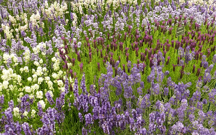 lavender lavandula at Hampton Court Palace Flower Show Floral Marquee