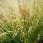 Mexican feather grass is football-proof and has great texture and movement