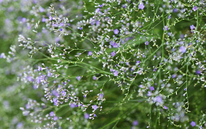 sea-lavender-coastal-plants