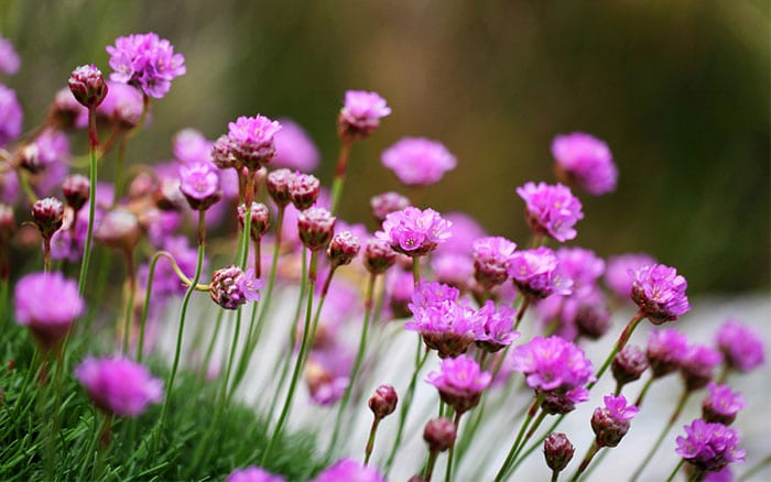 thrift-armeria-flowers