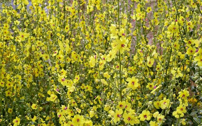 verbascum-flowers-coastal-garden