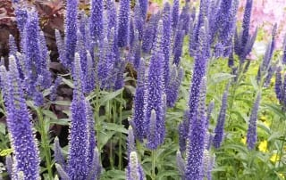 veronica longiflora at Hampton Court Palace Flower Show Floral Marquee