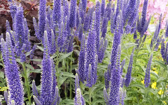 veronica longifolia Marietta at Hampton Court Palace Flower Show Floral Marquee